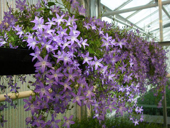 Цветы для балкона кампанула