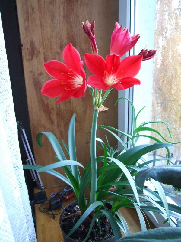Домашний цветок с луковицей