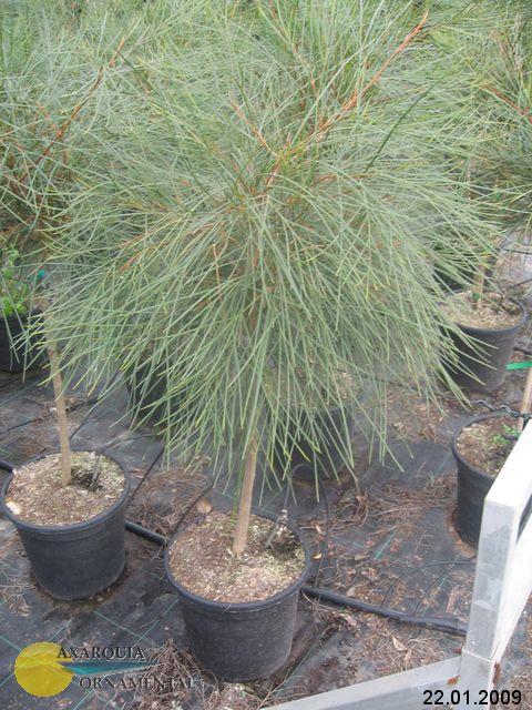 фото декоративные домашние растения Гревиллея деревья, цвет зеленый, Гревиллея - GREVILLEA 'Johnsonii' .