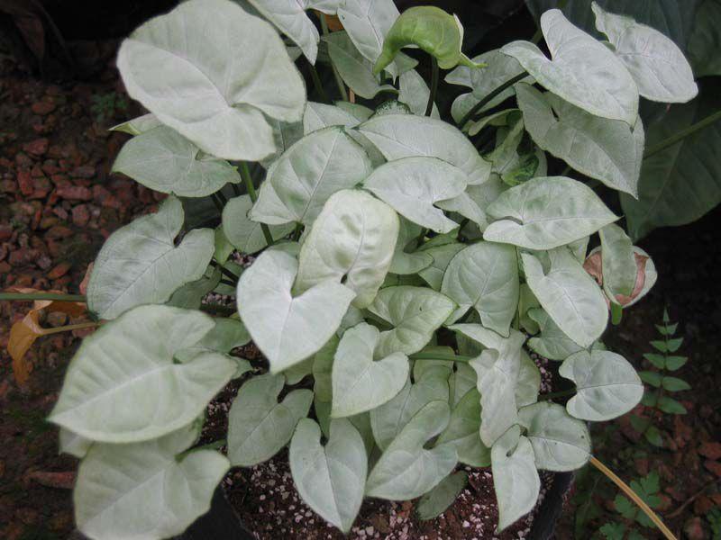 Комнатные растения сингониум лианы