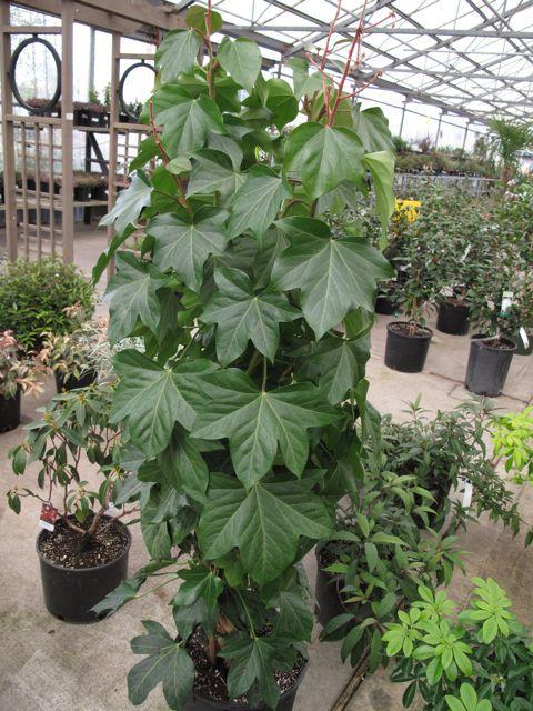 Лиана растение уход в домашних условиях 830